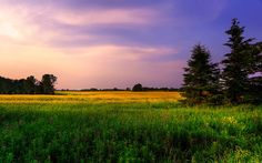 """""""Pine Tree"""" -- #wallpaper by """"fallenflowers"""" from http://interfacelift.com -- I was in this farm land in Maple.  As I drove by i spotted two pine trees surrounded by a yellow grass field and decided to snapp some photos."""