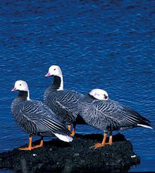 Emperor Goose - Wikipedia, the free encyclopedia