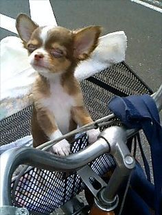 chihuahua - such a cute little one!
