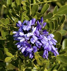 Flowers from Lawn Connections: Mountain Laurel Bloom.