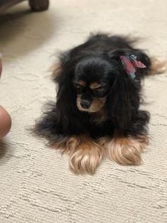 Bella King Charles Spaniel, Cavalier King Charles, Dogs, Animals, Black, Animales, Animaux, Black People, Pet Dogs