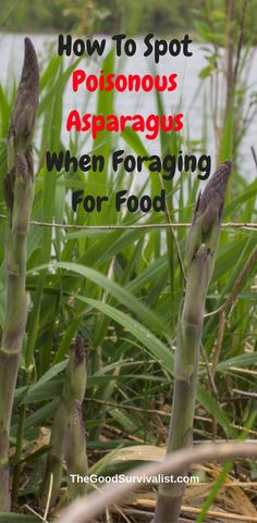 Asparagus is a great wild food to forage for. However you need to be careful, because there is a wild asparagus look-alike that is very poisonous. http://www.thegoodsurvivalist.com/poisonous-asparagus-look-alike/