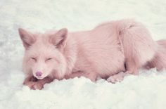 This is Miko, a champagne pink fox