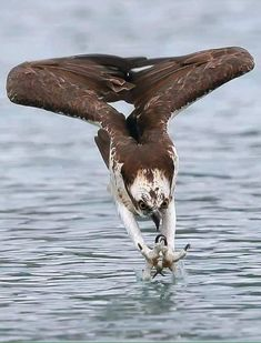 Hottest Pic birds of prey osprey Style Being a wildlife with food photography, the most important concern almost all criticize concerning is definitely the un Nature Animals, Animals And Pets, Funny Animals, Cute Animals, Prey Animals, Nature Nature, Pretty Birds, Beautiful Birds, Animals Beautiful