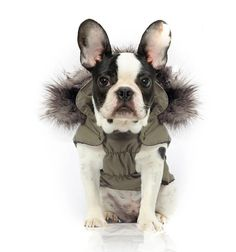 Milk & Pepper Luxury Winter Hoody Jacket Coat with detachable Hood and warm Lining Large Dogs Pugs (size Boston Terriers, Toy Fox Terriers, Boston Terrier Love, Funny Dogs, Cute Dogs, Milk And Pepper, Large Dogs, Mans Best Friend, Puppy Love