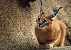 cuteanimalsworld: The caracal: