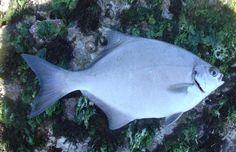 Stone bream (stinkerfish)  (neoscorpis lithophilus)    Red List