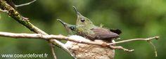 Par temps chaud, la femelle se poste sur l'un des côtés du nid pour rafraîchir ses poussins en leur faisant de l'ombre avec son corps.