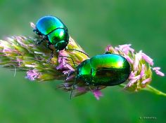 These beetles remind me of jewels.