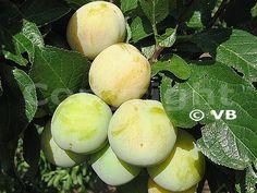 ONTARIO Fruit Trees, Ontario, Plum, Food, Essen, Meals, Yemek, Eten