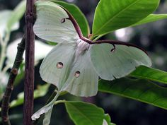 Actias luna, does not have mouth, it lives for about a week, with the singular purpose of mating