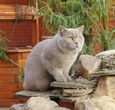 Lilac British Shorthair. My dream breed of cat. :)