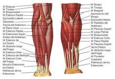 Momento de repaso: ¿Recuerdas el nombre de todos los músculos de los brazos?