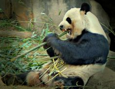 Pandas love their bamboo! #ZAFanFriday submission from Facebook user Angela C.