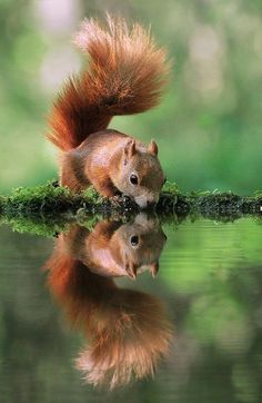 Beautiful squirrel wildlife photography by arena animation Nature Animals, Animals And Pets, Baby Animals, Funny Animals, Cute Animals, Wild Animals Photography, Wildlife Photography, Reflection Photography, Beautiful Creatures