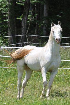 DREA Bluhawks Pataha - 100% Foundation (FPD) Few Spot appaloosa stallion