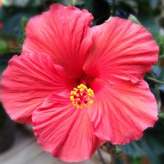 Hibiscus...my all time faaaavorite flower :)