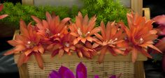 Epiphyllum 'Orange Icing' - Flickr - Photo Sharing!