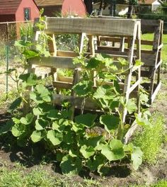 http://earthlytenthomestead.files.wordpress.com/2011/07/squash-trellis-sm.jpg