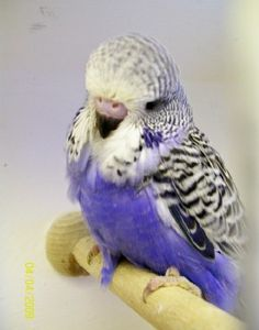Baby English budgie - So cute! So in love with them now Lauren!