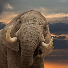 Elephant! Great tusk! :)