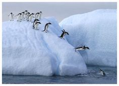 Penguins queue to get into the water on this ice flow, Antarctica.
