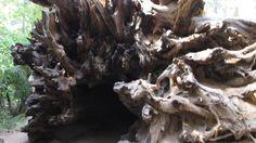 Giant Redwood Root Cave