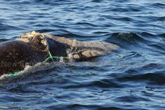 Entangled right whale spotted in the Bay of Fundy