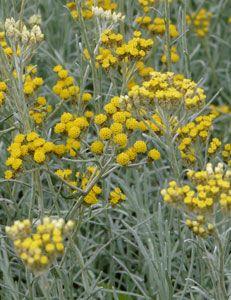 Perfect Helichrysum italicum uSilbernadel u Strauch Strohblume Currykraut g nstig online kaufen MEIN Sch ner GartenStaudenGestaltenVorg rtenBalkon therischen