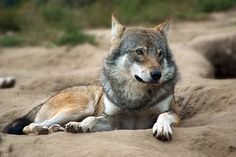 resting and watching wolf by ~pavalo on deviantART