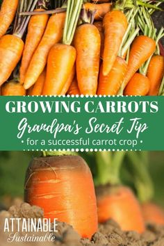 Growing carrots can be a bit difficult; they're persnickety. Luckily, my grandpa taught me this trick to get them started in the garden easily! Here's… - All For Garden Growing Carrots From Seed, Growing Tomatoes, Growing Vegetables, Growing Peppers, Vegetable Garden Design, Diy Garden, Vegetable Gardening, Garden Tips, Garden Ideas
