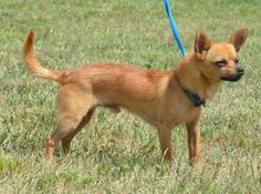 Meet sweet Art! Art is a 2 year old Chi mix who currently weighs 10lbs. Art is well socialized, house trained, leash trained and loves going for rides in the car. Art loves to play with other dogs or just relax with his human. This sweet boy is...