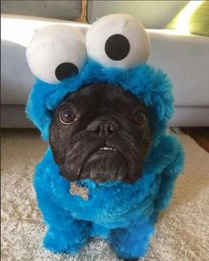 Cookie monster pug