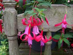 "Shade plants that bloom all summer ""Hardy Fuchsia – ... several cultivars of hardy Fuchsias, but usually larger and more up right. The most common variety grown in the Pacific is Fuchsia magellanica. This Fuchsia is a shrub like plant covered with tubular blooms that hummingbirds LOVE, and blooms spring to first frost. Growing 6-10 feet high and as wide, it's winter hardy down to zone 6, though it might die back during the coldest months. It will come alive again in Spring!"""