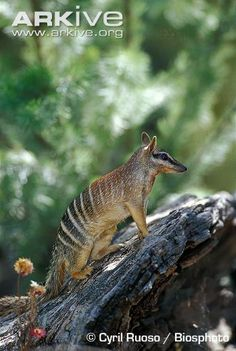 The Numbat (or Banded Anteater) from Australia is a marsupial, but not closely related to other marsupials. Its closest relative is the very extinct Tasmanian Tiger. In fact, it doesn't have a pouch. When born (after a 15 day pregnancy), the young crawl up and attach themselves to the milk supply and stay there, hanging on, for months.