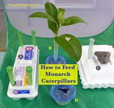 Monarch caterpillar food ideas- 5 Ways to make milkweed last longer by using milkweed cuttings.