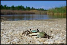fiddler crab chillin' by the Bay!