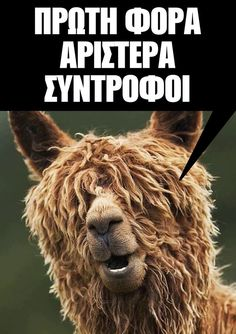 Alpacas are a domesticated species of South American camelid, bearing a striking resemblance to llamas only much smaller. Alpacas, Farm Animals, Funny Animals, Cute Animals, Beautiful Creatures, Animals Beautiful, Knitting Humor, Knitting Quotes, Crochet Humor