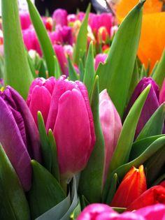 Tulpan - Tulip