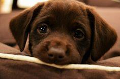 лабрадор - самая лучшая собака в мире