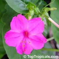 Mirabilis jalapa 4oclock flower these grow in dry soil and mirabilis jalapa 4oclock flower these grow in dry soil and produce an intoxicating floral scent flowers pinterest flowers plants and gardens mightylinksfo