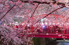 La fioritura dei ciliegi in Giappone: i periodi migliori per ammirarla