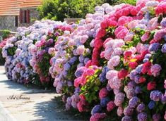 Landscaping Quotes Sunsets - - Landscaping Around Trees With Gravel - Farmhouse Landscaping Design - - Landscaping Shrubs, Landscaping Around Trees, Hydrangea Landscaping, Hydrangea Garden, Farmhouse Landscaping, Landscaping With Rocks, Landscaping Design, Hydrangeas, Amazing Flowers