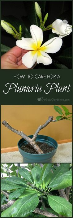 Plant Care Guide: How To Grow Plumeria Plants Potted plumeria plants can easily be grown anywhere. Once you know the tricks for plumeria plant care, you'll be rewarded with flowers year after year!Reward Reward may refer to: Plumeria Care, Plumeria Flowers, Growing Flowers, Growing Plants, Planting Flowers, Growing Tomatoes, Growing Vegetables, Potted Flowers, Flower Gardening