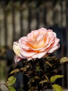 I don't normally post non-identified roses, but this is a beauty.