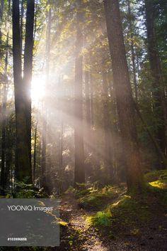 Sunburst , sun rays in forest of western hemlock ,Tsuga heterophylla, western redcedar Thuja plicata and Douglas-fir Pseudotsuga menziesii, Alice Lake Provincial Park, Highway #99, north of Vancouver, BC