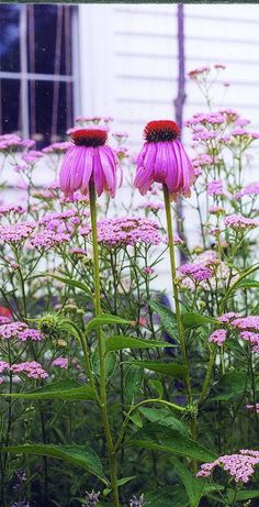"Purple Coneflower. This hardy perennial makes a spectacular display when established. Plants are quite tall, 40-45"", and produce an abundance of bluish purple flowers, 4"" across, from July to Septembe"