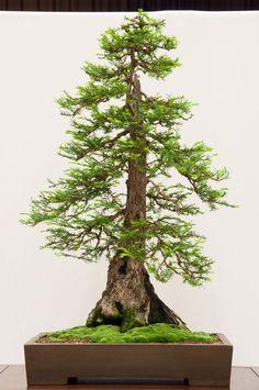 he word bonsai is most closely associated by most with the growing of miniature trees, and although this is somewhat accurate, there is a lot more to it than that. A bonsai is not a genetically overshadowed plant Mini Bonsai, Indoor Bonsai, Bonsai Plants, Bonsai Garden, Redwood Bonsai, Compost, Sequoia Sempervirens, Bonsai Tree Types, Dwarf Trees