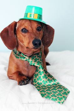 60f18883c65 A Little Green    St. Patrick s Day with Ammo the Dachshund Weenie Dogs
