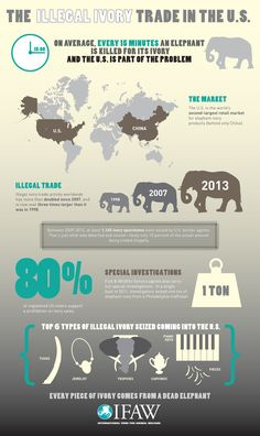 IFAW Infographic Exposes Shocking Facts About Illegal Ivory Trade in U. Elephant Quotes, Elephant Facts, Elephant Poster, Asian Elephant, Elephant Love, Elephant Photography, Animal Photography, Ivory Trade, Shocking Facts
